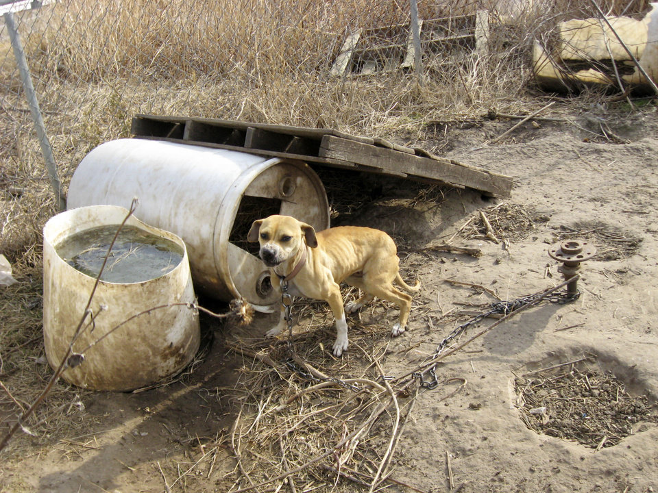 Photo - DOGS / MALNUTRITION: Authorities found several malnourished pit bulls on a rented farm near the Kansas/Oklahoma border in Kay County. Provided by Carol Murphy, KIXR 104.7 FM ORG XMIT: KOD