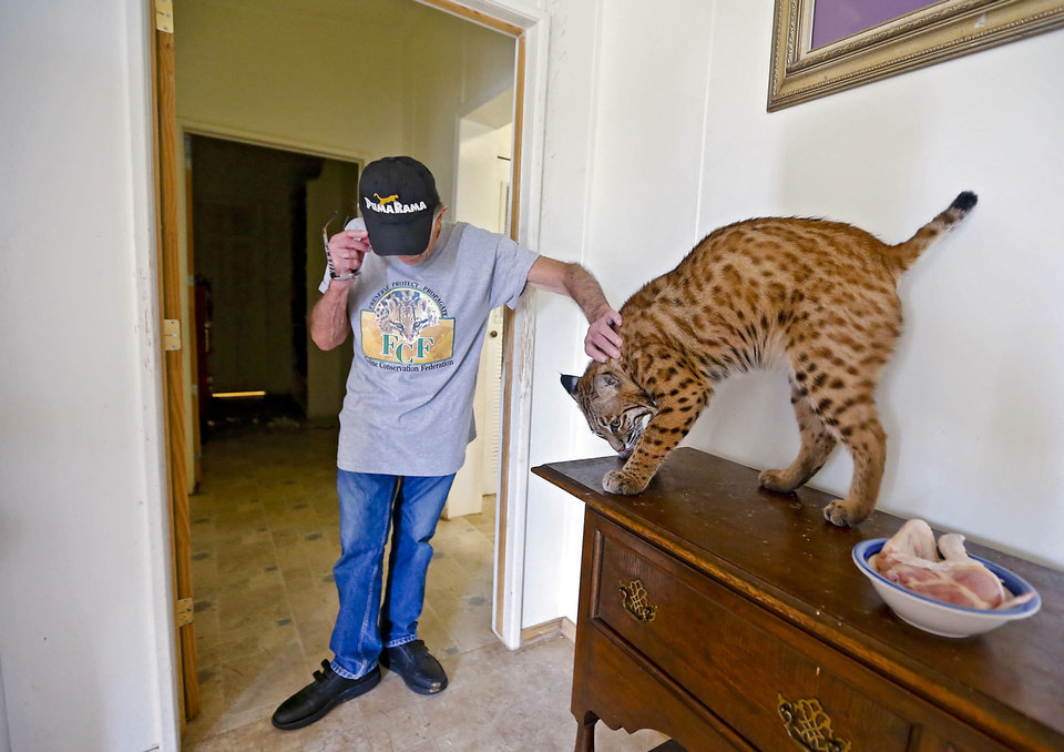 Photo - Cougar rescuer and owner Bob Aufill  pets his Oklahoma Bobcat named Thunder at his home on Friday, July 28, 2013 in Perkins, Okla. Aufill's home is a complete facility that allows him to house and rescue cougars along with the bobcats.   Photo by Chris Landsberger, The Oklahoman