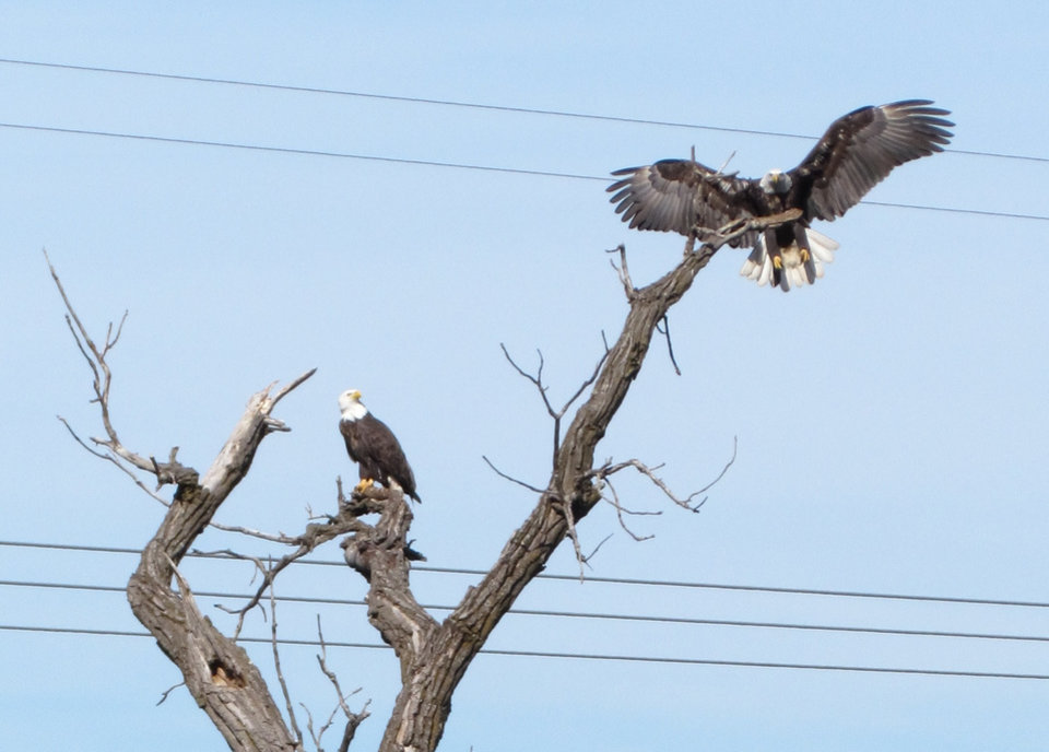 Bald Eagles at the Guthrie Lake