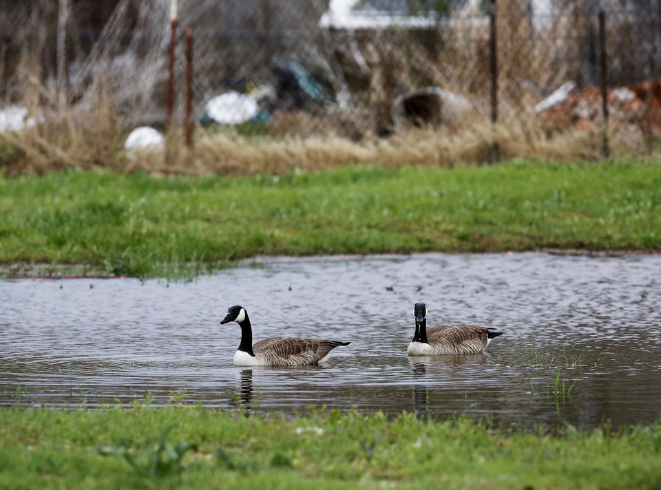 A pair of geese swim in a small pond on vacant land after rain Wednesday night caused flooding. In the Crutcho Creek district of Midwest City, an area historically prone to flooding, the rains created ponds Thursday in some of the vacant lots.  Photo by Jim Beckel, The Oklahoman