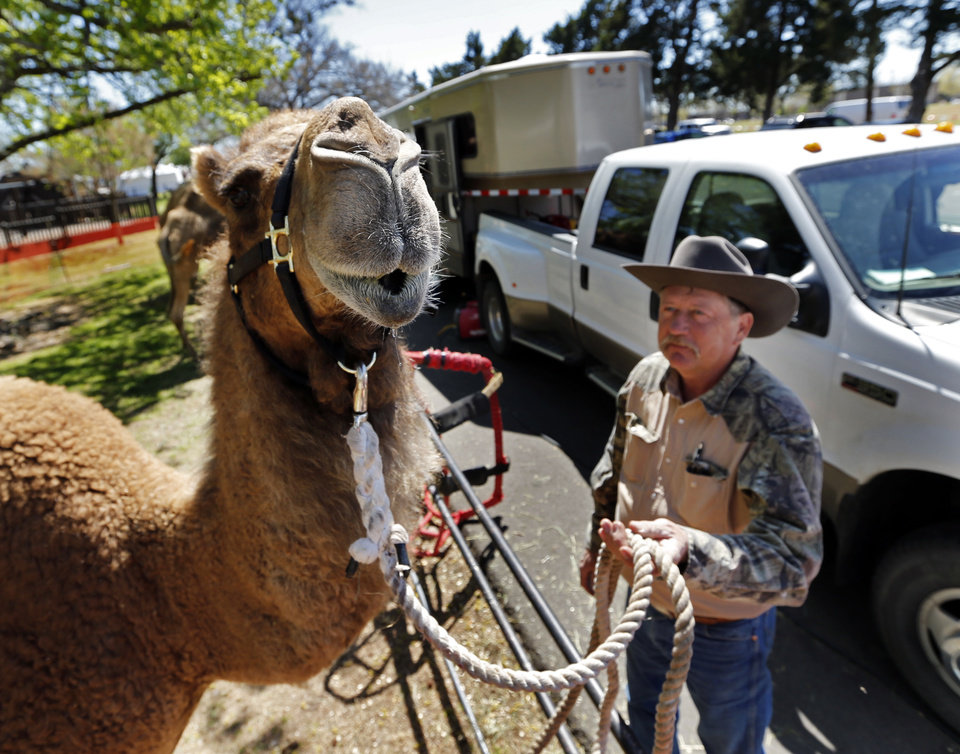 Photo -  Jeff Lyle, owner JK Animal Adventures from Worth, Mo., leads Martin, a dromedary camel, as they prepare for this weekend's Medieval Fair of Norman. [Photos by Steve Sisney, The Oklahoman]