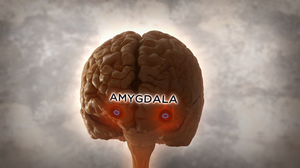 Photo - The amygdala, located iwthin the temporal lobe of the brain, plays a central role in fear. (PHOTO PROVIDED?NGT).  NGC