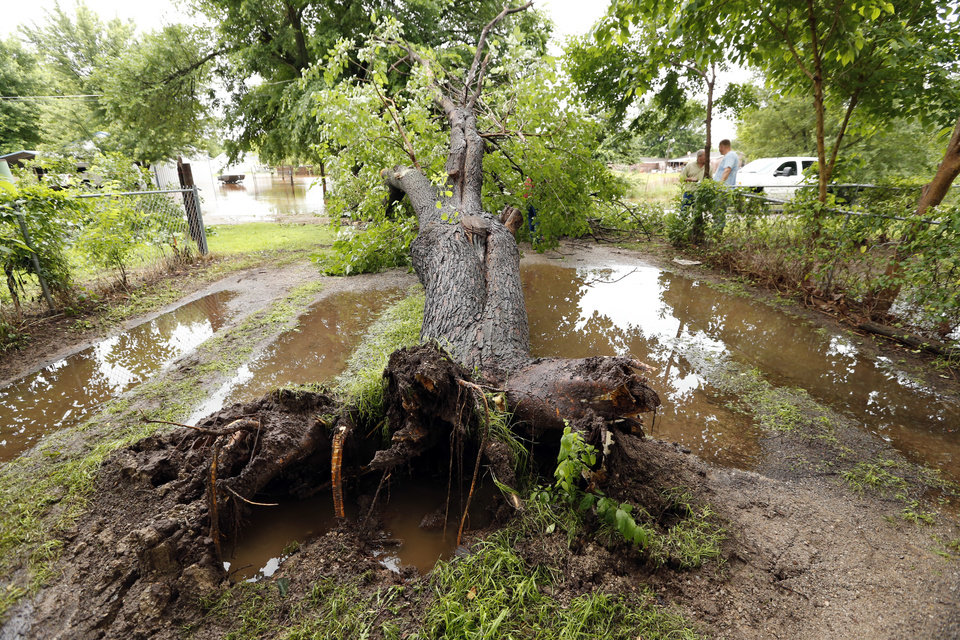 Photo - A large tree lies in a yard in a low lying area on Sunday, May 24, 2015 in Purcell, Okla.  Several feet of water flowing through the yard on Saturday nigh pushed over the tree.  Photo by Steve Sisney The Oklahoman