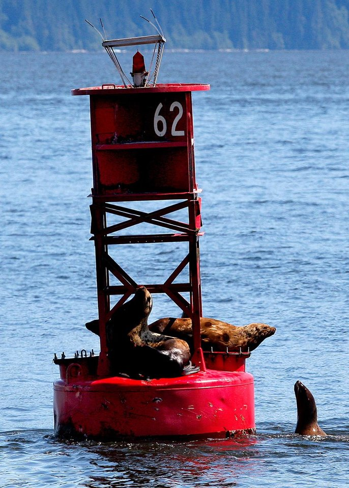 Photo -  Sea lions gather on a buoy in Petersburg, Alaska, Monday, June 4, 2012.  Photo by Sarah Phipps, The Oklahoman
