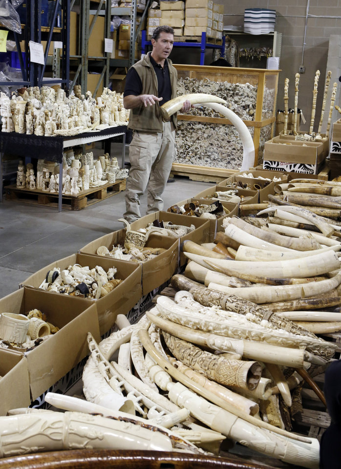 Photo - Steve Oberholtzer, a special agent for the Fish and Wildlife Service, talks about ivory poachers as he is surrounded by tons of ivory at the the National Wildlife Property Repository at the Rocky Mountain Arsenal National Wildlife Refuge near Commerce City, Colo., on Wednesday, Nov. 13, 2013. Over 6-tons of ivory tusk and carvings worth millions of dollars that will be crushed at the facility on Thursday. The items were seized from smugglers, traders and tourists at U.S. ports of entry after a global ban on the ivory trade went into effect in 1989. (AP Photo/Ed Andrieski)