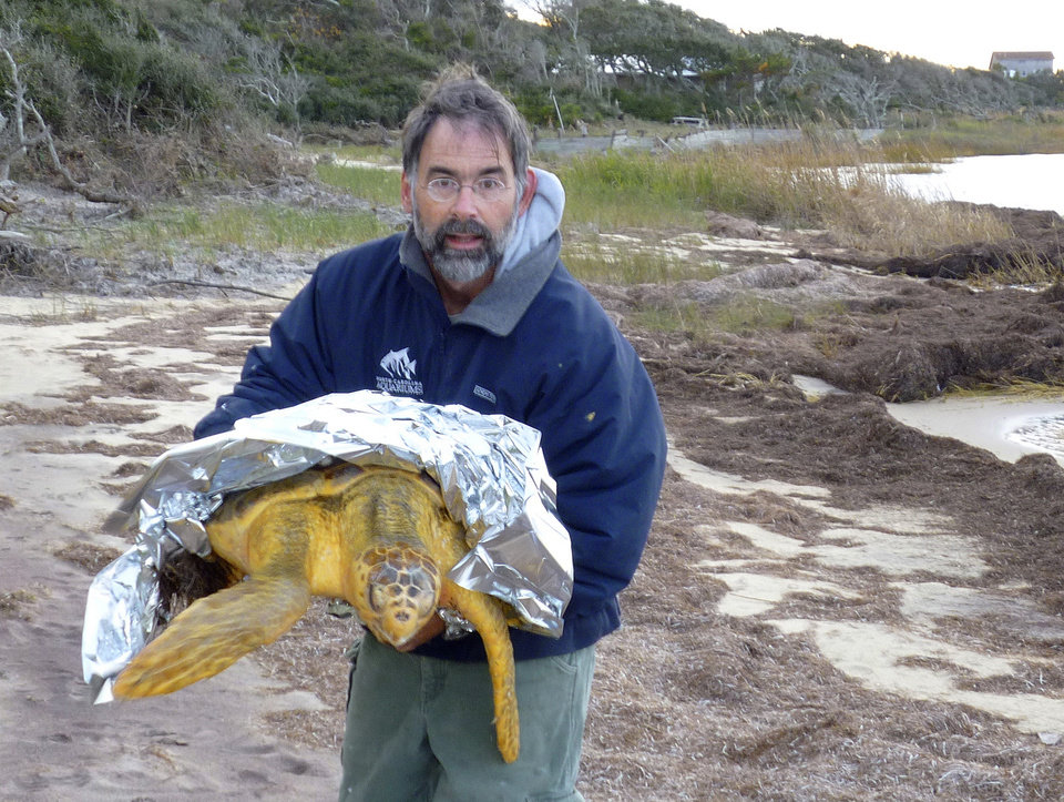 In this Jan 2, 2013 photo provided by Liz Browing Fox, Lou Browning of Hatteras Island Wildlife Rehabilitation in N.C., holds a loggerhead turtle. Volunteers along North Carolina\'s coast are walking through muck and going out on kayaks to rescue sea turtles that get stuck in sounds when the water turns cold, stunning them and leaving them helpless to save themselves. (AP Photo/Liz Browing Fox)