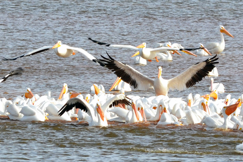 Pelican Delight - Lake Hefner - Photo by Ruthann Lach