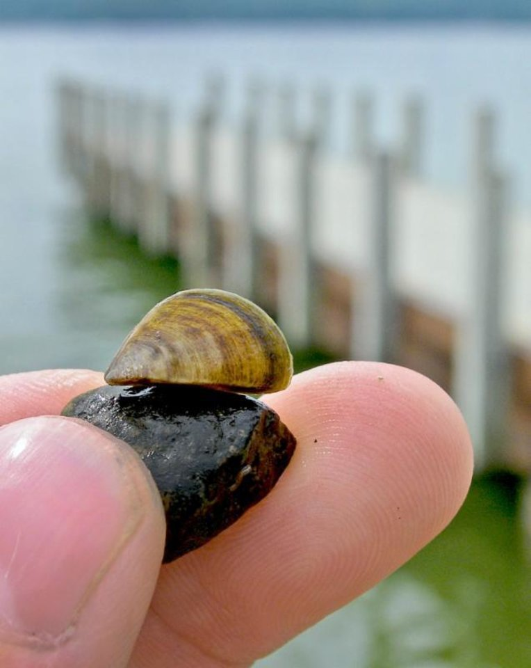Photo -  The zebra mussel, an aquatic nuisance species, has been found in Oklahoma City's Lake Hefner. Boaters should take precautions to deter the spread of this harmful and costly invasive species. (U.S. GEOLOGICAL SURVEY)