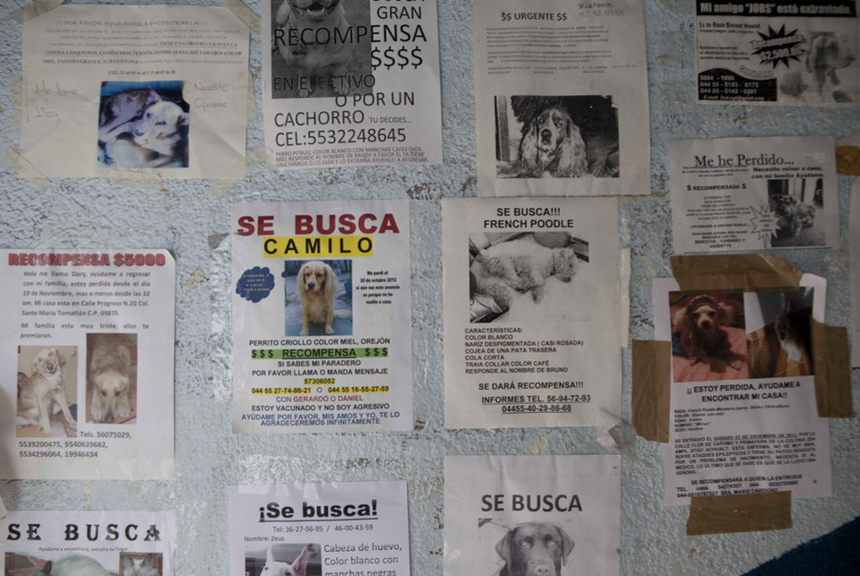 Photo - Posters of missing dogs blanket a wall at the animal shelter in the hilltop borough of Iztapalapa in southeast Mexico City, Tuesday, Jan. 8, 2013. The fatal mauling of four people by feral dogs in a Mexico City park set off debate Tuesday about the city's love/hate relationship with its dog population, and the guilt or innocence of 25 dogs trapped near the scene of the nightmarish killings. Liliana Hernandez, a self-described street dog rights activist who lives near the park, says many people let their dogs out during the day because their cinderblock homes are too small to keep them inside. Resident of their neighborhood started running frantically to collect their dogs when police began seizing strays Monday night, she said. A veterinarian at the Iztapalapa animal shelter said it appeared that at least one of the 25 captured dogs had been a pet. (AP Photo/Eduardo Verdugo)
