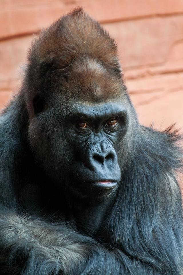Photo - Bom Bom, Oklahoma City zoo silverback gorilla. Photo by Gillian Lange