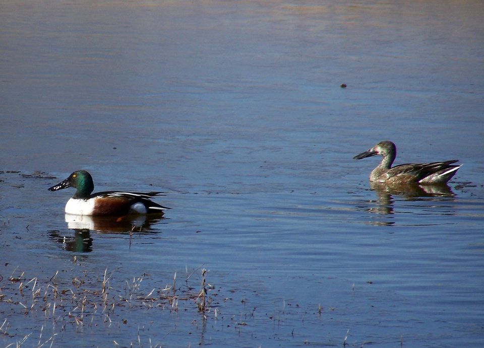 Photo -  A pair of Northern Shovelers rest in shallow water at the Washita National Wildlife Refuge. Photo by  Amber Zimmerman/USFWS