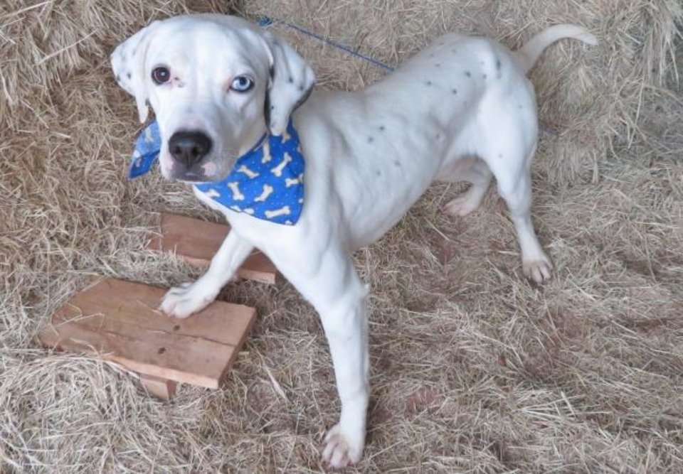 Photo -  Pogo, a 1-year-old, 34-pound Dalmatian mix, has one blue eye and one brown eye. Pogo has a perfect energy level, not too much and not too little. His number at the Oklahoma City Animal Shelter is 327745, and his adoption fee is $60. All pets are spayed or neutered, have a microchip, and have had age-appropriate shots and a health check. The shelter is open from noon to 5:30 p.m. seven days a week at 2811 SE 29. For more information, go to www.okc.petfinder.com and www.okc.gov. [PHOTO PROVIDED]