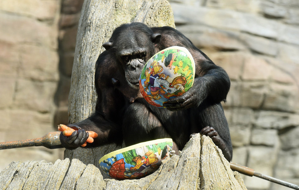 Photo - Chimpanzee Viktoria opens an Easter egg at the zoo in Hannover, Germany, Thursday, April 3, 2014. The egg was filled with food. The zoo keepers surprised the animals with an Easter egg hunt on the first day of the Lower-Saxon Easter school holidays. (AP Photo/dpa, Holger Hollemann)