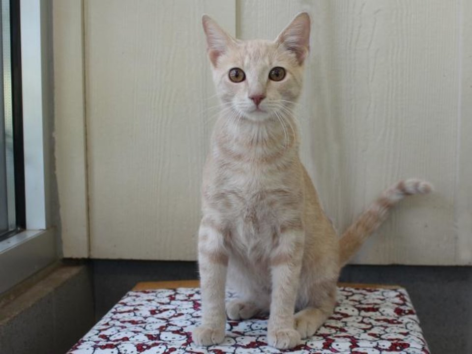 Photo -  Lyle is a 3-year-old male buff domestic shorthair. He is very friendly. If you are looking for the perfect companion, come meet Lyle. He is available for adoption from the Edmond Animal Welfare Shelter, 2424 Old Timbers Drive. His adoption fee is $25. Call 405-216-7615. [PHOTO PROVIDED]