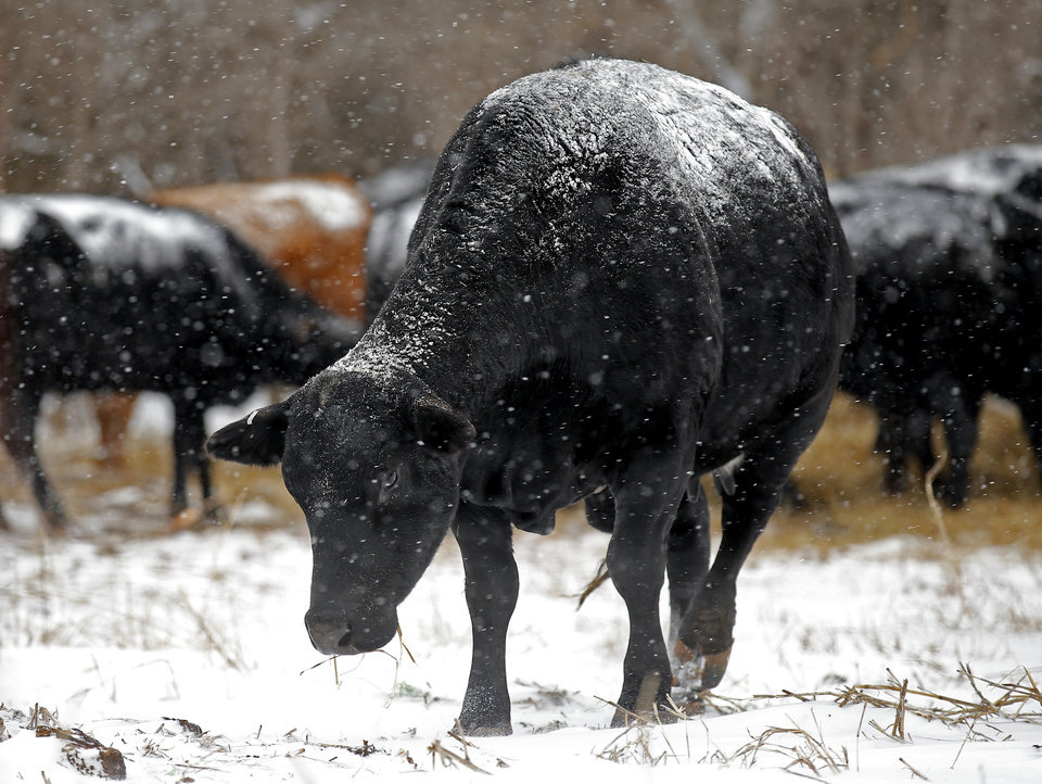 Photo - A cow grazes in a field in northwest Oklahoma City, Sunday, Feb. 14, 2021. Photo by Sarah Phipps, The Oklahoman