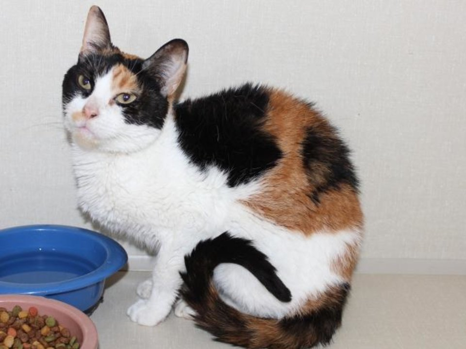 Photo -  Mystic is a beautiful spayed female calico domestic shorthair. She is about 10 years old and has a lot of love left to give. Mystic is available for adoption from the Edmond Animal Welfare Shelter, 2424 Old Timbers Drive. Her adoption fee is $25. Call 405-216-7615. [PHOTO PROVIDED]