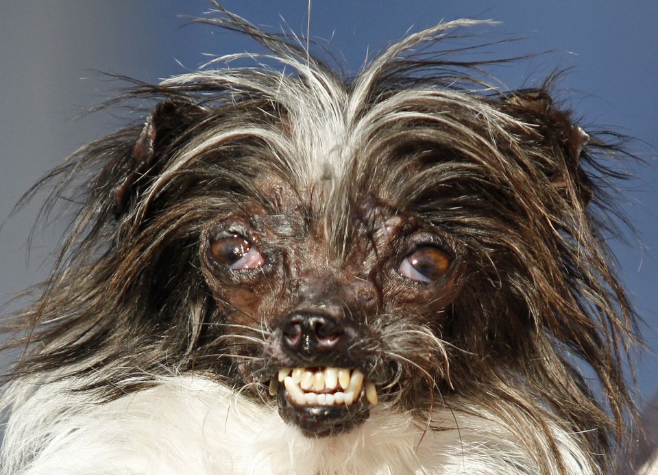 Peanut, a two-year-old mutt is held by Holly Chandler, the owner after winning the World\'s Ugliest Dog Contest, at the Sonoma-Marin Fair, Friday, June 20, 2014, in Petaluma, Calif. Chandler and Peanut are from North Carolina. (AP Photo/George Nikitin)