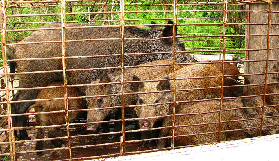 Photo - In this Aug. 15, 2008 photo provided by trapperjohnschmidt.com, feral hogs caught by trapper John Schmidt are caged  in St. Charles Parish, La. An estimated 5 million swine, descendants of both escaped domestic pigs and wild Eurasian boars imported by hunters, do about $800 million in damage a year to farms nationwide. Damage outside farms and population control bring the annual total to $1.5 billion. (AP Photo/trapperjohnschmidt.com, John Schmidt)