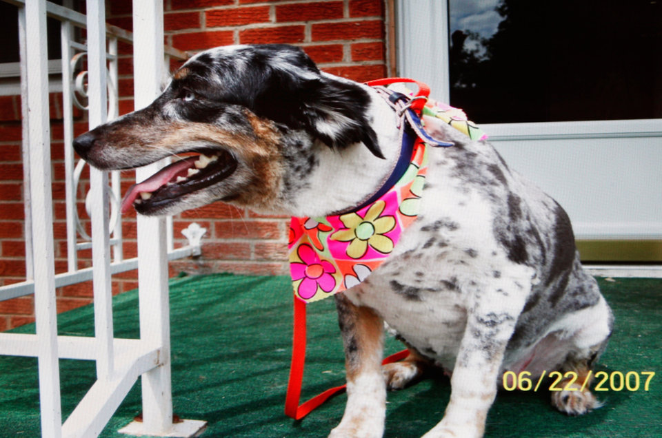 Provided photo of Molly, a pet owned by Charlotte Maughan. This dog was attacked by two other dogs Thursday morning, Feb. 17, 2011 when Maughan took her dog for a walk in her southwest Oklahoma City neighborhood. . Unable to free her pet from the attack, she went inside her home to get her gun. She came back out and shot both dogs, killing them. Photo by Jim Beckel, The Oklahoman