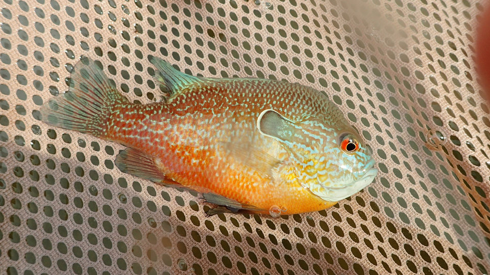 Photo -  A longear sunfish from the upper Red River. [PHOTO BY TREVOR STARKS, ODWC streams technician]