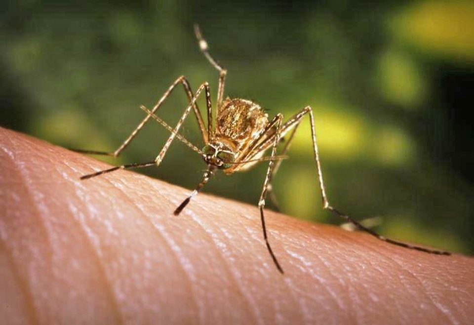 In Oklahoma, West Nile virus generally is transmitted through the bite of infected mosquitoes. People who actually develop symptoms can become very sick. PHOTO PROVIDED BY CENTERS FOR DISEASE CONTROL AND PREVENTION ORG XMIT: 1308100236046627