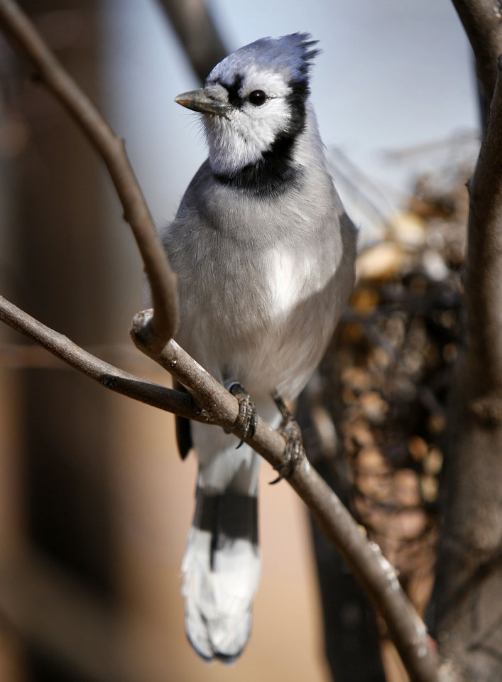 Photo - A common blue jay perches inside the aviary at the soon-to-be-opened