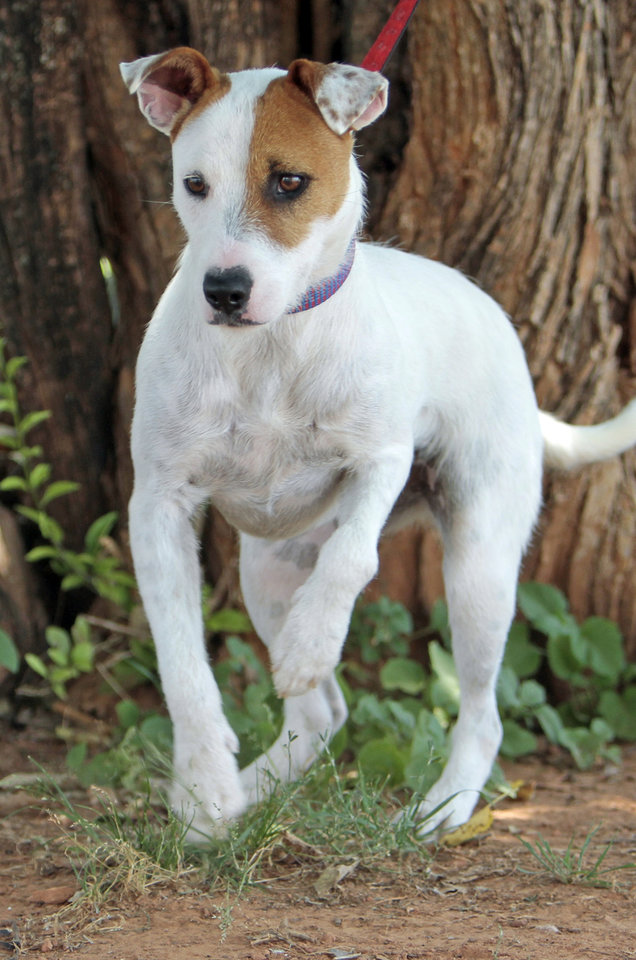 Evie is an 18-month-old Jack Russell Terrier mix available at Second Chance Animal Sanctuary on Thursday, June 28, 2012, in Norman, Okla.  She is a spayed female, has an identifying microchip implant, is current on shots and tests, and is available for a fee of $90.  Second Chance's phone number is 405-321-1915. Photo by Steve Sisney, The Oklahoman
