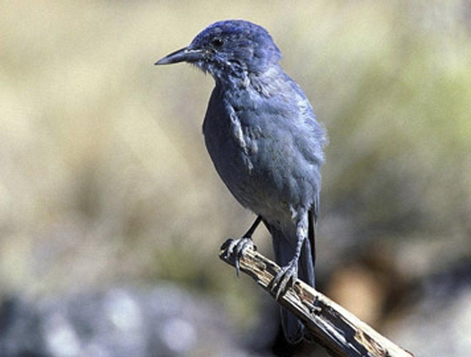 Photo - This undated image provided by the U.S. Geological Survey shows a pinyon jay. The U.S. Geological Survey and researchers from the University of New Mexico and Northern Arizona University released a report this week that takes a closer look at some of the effects climate change is likely to have on species such as the desert tortoise and the pinyon jay. According to the report the jay stands to lose nearly one-third of its breeding range. (AP Photo/U.S. Geological Survey)