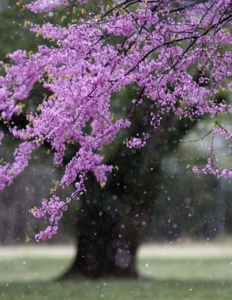 Photo - Snow falls on a Redbud tree in full bloom in north Oklahoma City, OK, Monday, April 14, 2014, Photo by Paul Hellstern, The Oklahoman