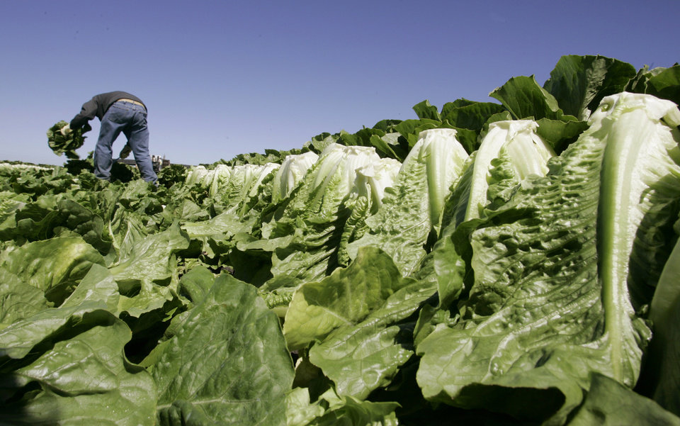 Photo - FILE - In this Aug. 16, 2007 file photo, a worker harvests romaine lettuce in Salinas, Calif. Leafy green vegetables were the leading source of food poisoning over an 11-year period, federal health officials say, Tuesday, Jan. 29, 2013. However, the most food-related deaths were from contaminated chicken and other poultry. (AP Photo/Paul Sakuma, File)