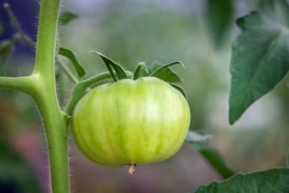 Photo -  A green tomato ready for frying. [PHOTO PROVIDED BY OSU EXTENSION SERVICE]