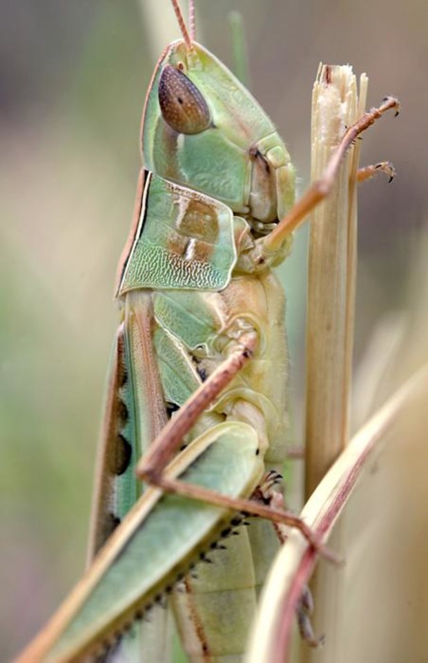 Photo -  A grasshopper sits camouflaged in tall grass in northwest Oklahoma City Thursday, Aug. 11, 2011. Photo by John Clanton, The Oklahoman