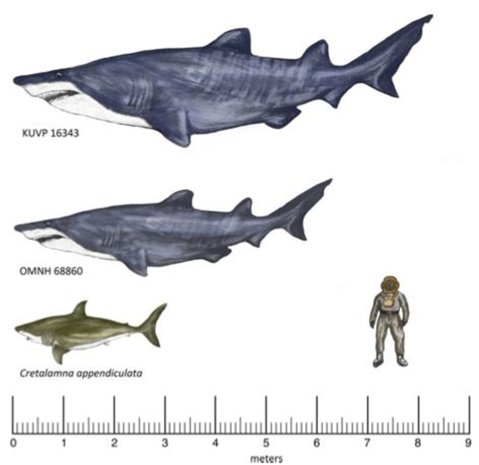Photo -  A graphic drawn by OU doctoral candidate Janessa Doucette-Frederickson shows the comparative sizes of sharks. The bottom illustration is a modern day shark, topped by a drawing of a shark based on findings of vertebrae in Texas. The top shark is one based on a vertebra found in Kansas, believed to be the same kind as the one found in Texas, only larger. [PHOTO PROVIDED]