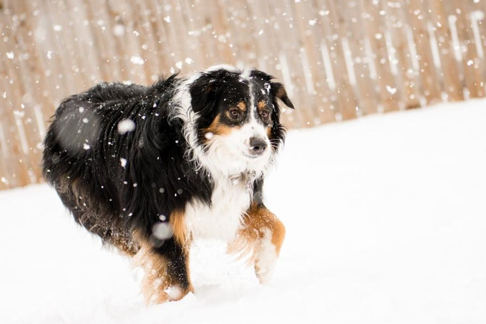 Our Aussie Aggie playing in the snow in Yukon