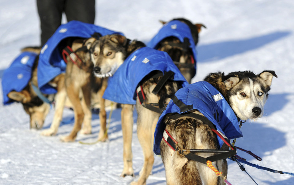 Photo - Mitch Seavey's dogs look back at the musher after they arrived at the White Mountain checkpoint during the Iditarod Trail Sled Dog Race on Monday, March 10, 2014, in White Mountain, Alaska. (AP Photo/The Anchorage Daily News, Bob Hallinen)