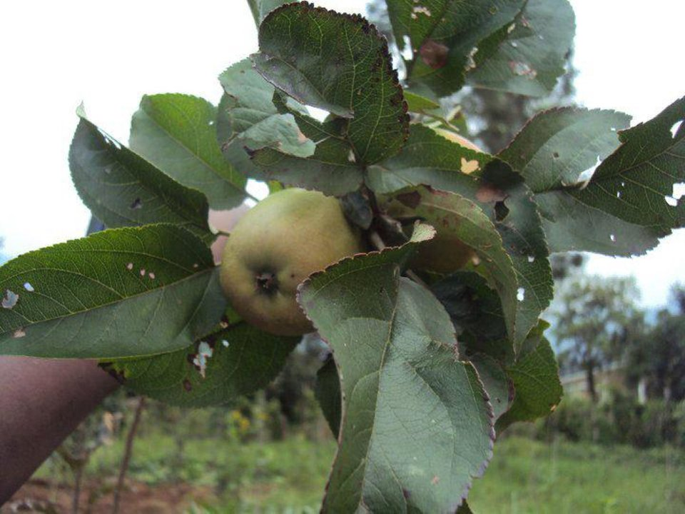Photo - An apple grows on an Apples for Africa tree in a Rwanda apple orchard. Photo provided