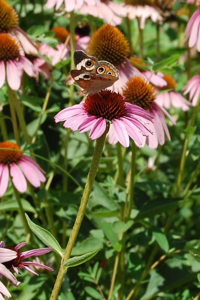 Butterfly on coneflower<br/><b>Community Photo By:</b> Cindi Tennison<br/><b>Submitted By:</b> Cindi , Bethany