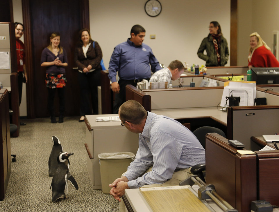 Photographer Paul Hellstern watches with other OPUBCO employees as Magellanic penguins Penny and Pete walking through the photo department as SeaWorld visited the OPUBCO on Thursday, Feb. 21, 2013, in Oklahoma City, Okla. Hellstern had been out on assignment and didn't know there were penguins roaming the floor. Photo by Doug Hoke, The Oklahoman