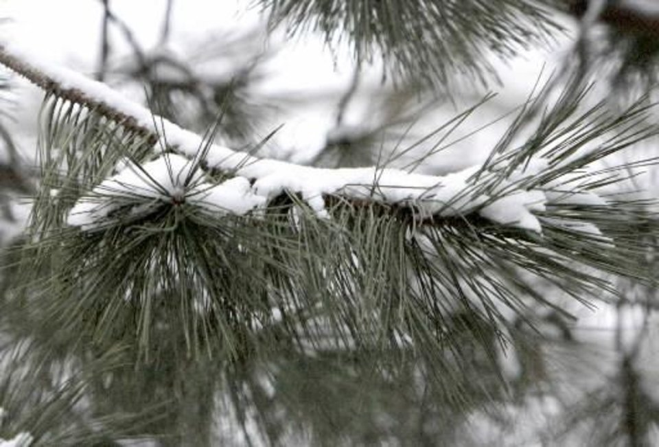 Photo - Snow clings to a pine branch after about an inch of snow fell overnight in Oklahoma City, OK, Monday, Feb. 13, 2012. By Paul Hellstern
