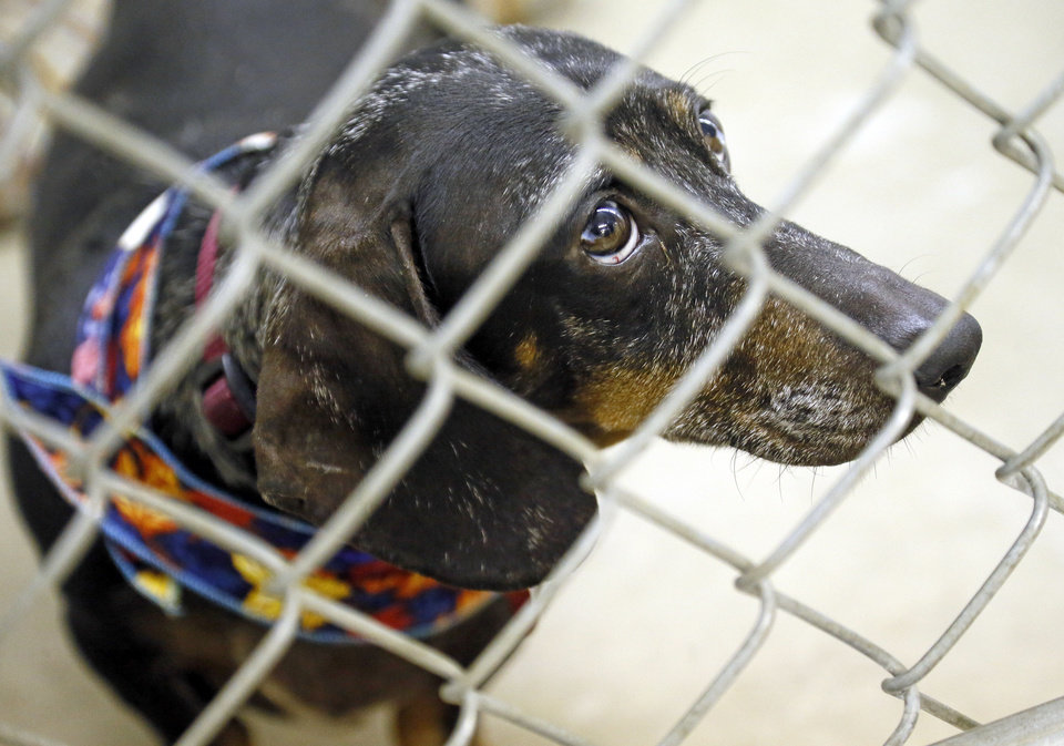 Hans (#124164), a 4-year-old dachshund, is available for adoption at the Oklahoma City Animal Shelter.