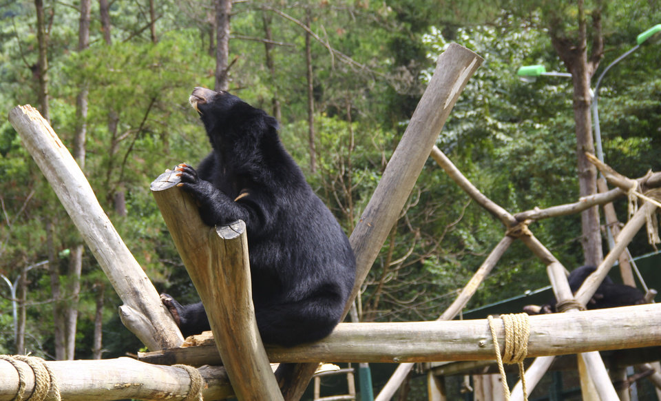 Photo -   In this photo taken on Oct. 29, 2012, a bear sits inside an enclosure at the Vietnam Bear Rescue Center in Tam Dao, Vietnam. The bears, some of them blinded or maimed, play behind tall green fences like children at school recess. Rescued from Asia's bear bile trade, they were brought to live in this lush national park, but now they may need saving once more. The future of the $2 million center is in doubt after Vietnam's vice defense minister in July ordered it not to expand further and to find another location, saying the valley is of strategic military interest. Critics allege the park director is urging an eviction because he has a financial stake in a proposed ecotourism venture on park property - accusations he rejects. (AP Photo/Mike Ives)