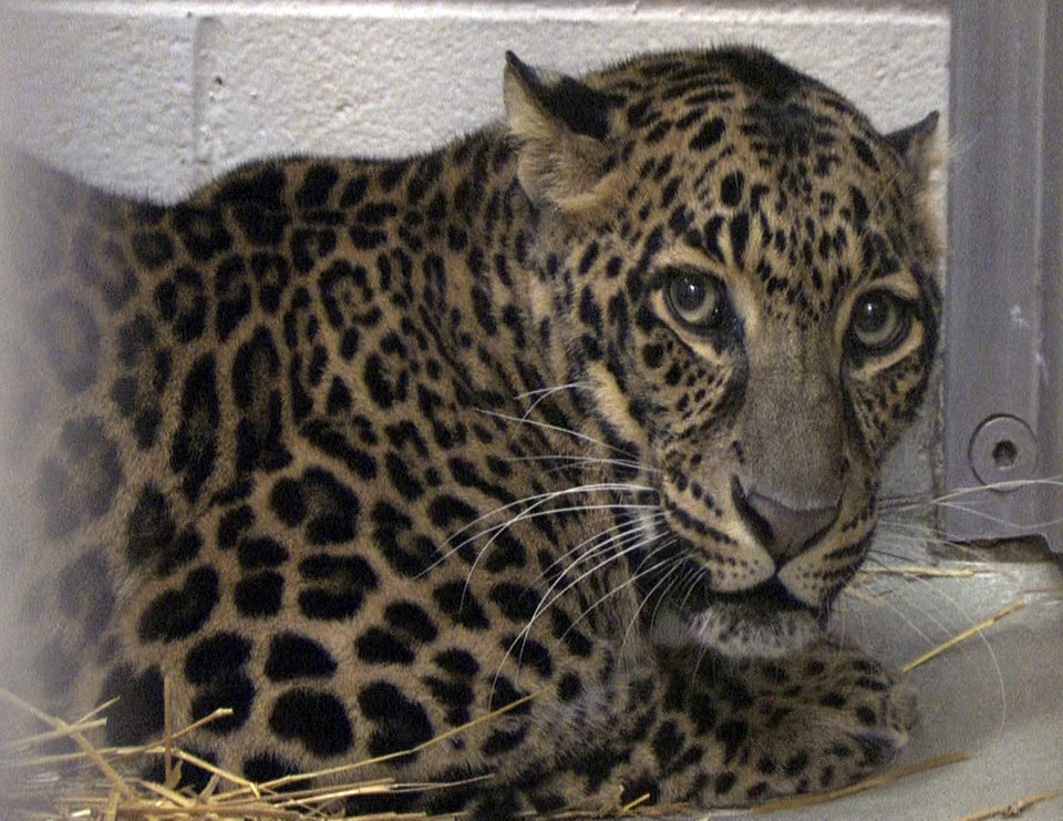 Photo -   FILE - This file photo provided by the Columbus Zoo and Aquarium and shows one of three leopards that were captured by authorities, a day after their owner released dozens of wild animals and then killed himself near Zanesville, Ohio on Oct. 18, 2011. Officials say five exotic animals will be returned to Marian Thompson, the woman whose husband released dozens of wild creatures last fall before killing himself. The Ohio Agriculture Department announced the decision Monday. It's unclear when the animals would be released to Marian Thompson. (AP Photo/Columbus Zoo and Aquarium, Grahm S. Jones, File)