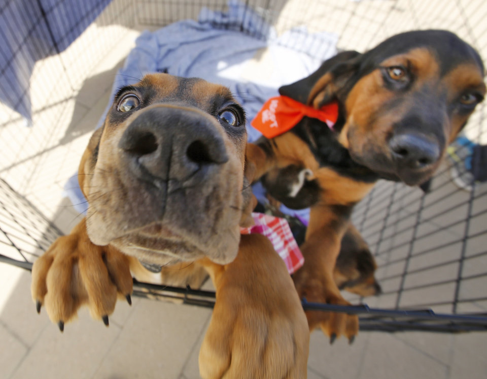 Photo - Bloodhound puppies up for adoption during Canines Against Cubicles at 	Bicentennial Park in Oklahoma City, Wednesday April, 2 2015. Guests were invited to take their lunch breaks and enjoy time with adoptable dogs and puppies. Photo By Steve Gooch, The Oklahoman
