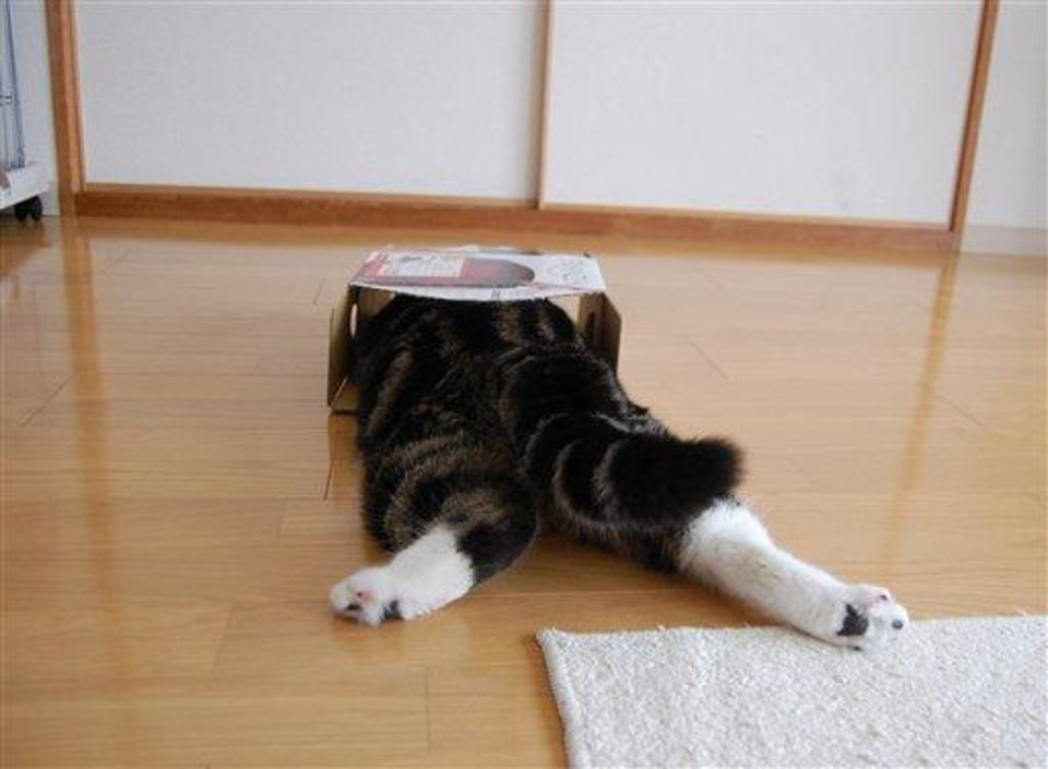 In this April 2008 photo provided by mugumogu, Scottish fold Maru lies down as he dives in a cardboard box in Japan. After years of viral YouTube viewing and millions of shares, the cat stars of the Internet are coming into their own in lucrative and altruistic ways. Roly poly Maru, the megastar in Japan with millions of views for nearly 300 videos since 2007, has three books and a calendar, among other swag for sale. (AP Photo/mugumogu)