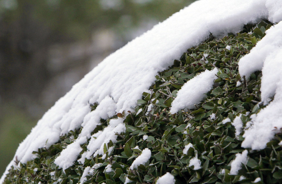 Photo - Snow clings to a manicured bush after about an inch of snow fell overnight in Oklahoma City, OK, Monday, Feb. 13, 2012. By Paul Hellstern, The Oklahoman