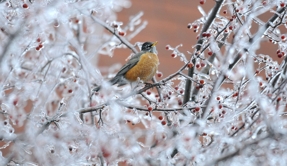 Photo - An American Robin searches for food on a frozen tree in Augusta, Maine, Sunday, Dec. 22, 2013. More than a quarter inch of ice coated tree branches and wires in the Augusta and Gardiner areas at noon.  Eric Schwibs, a meteorologist with the National Weather Service in Gray, said those areas could end up with about a half inch of ice accumulating by storm's end tomorrow. (AP Photo/Kennebec Journal, Andy Molloy) MANDATORY CREDIT