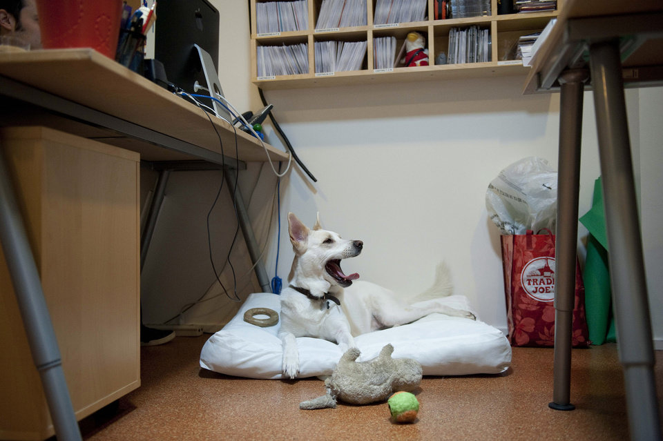 Photo -   Bebe, a mix, sits at her owner's desk while she works at Authentic Entertainment in Burbank, Calif., Monday, June 11, 2012. Bebe is one of millions of dogs that accompany their owners to dog-friendly businesses across the country every day. Even more will join her next Friday for Take Your Dog to Work Day. (AP Photo/Grant Hindsley)