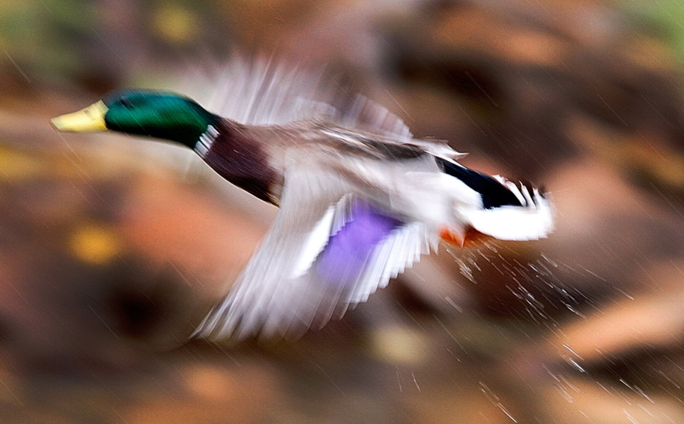 A mallard duck is seen Tuesday at Martin Park Nature Center in Oklahoma City. Photo by Steve Gooch, The Oklahoman
