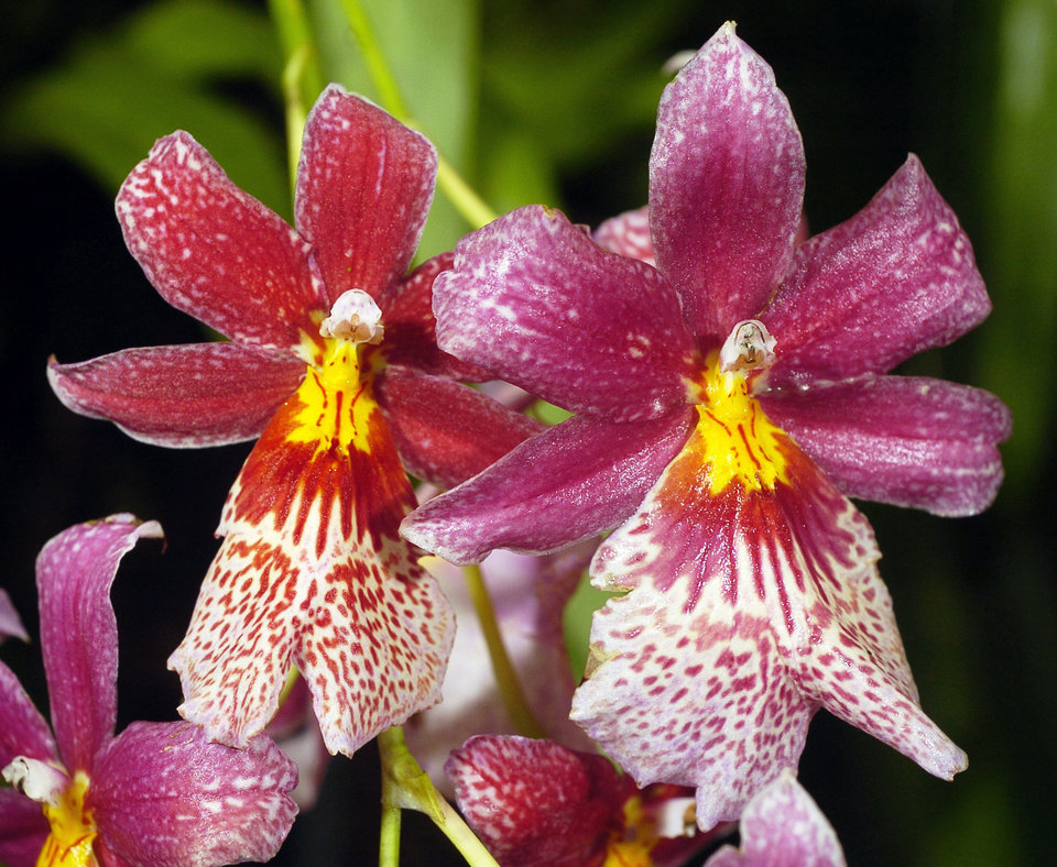 MYRIAD BOTANICAL GARDENS / ORCHIDS: Miltonia Orchid in the Myriad Botanical Gardens Crystal Bridge Conservatory in Oklahoma City.  Staff photo by Paul B. Southerland.  Photo dated 09/15/2005.
