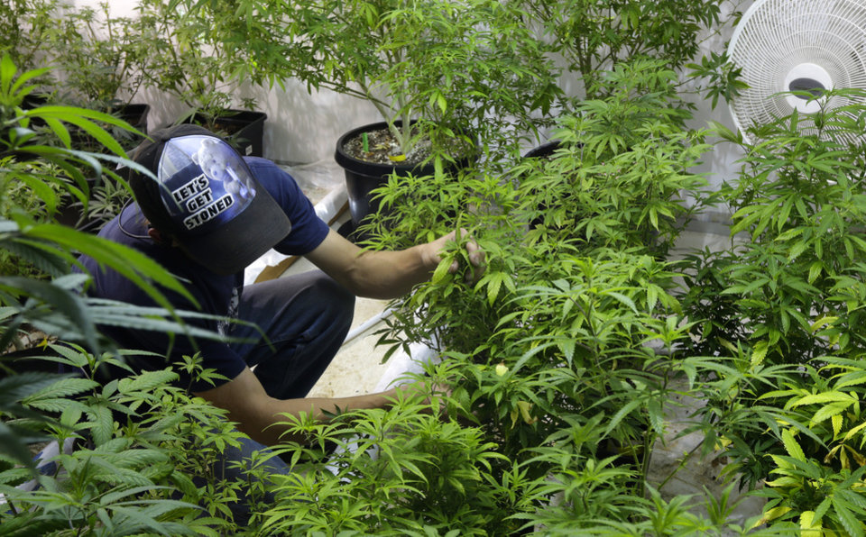 Photo - In this June 25, 2014, photo, Johnnie Seitz tends to plants in the mother room, where a larger marijuana plant is kept to produce small